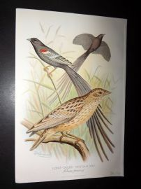 Frohawk & Butler 1899 Antique Bird Print. Long Tailed Whydah